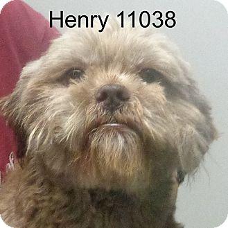 Shih Tzu Mix Dog for adoption in Manassas, Virginia - Henry