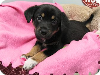 Shepherd (Unknown Type) Mix Puppy for adoption in Groton, Massachusetts - Alexandra