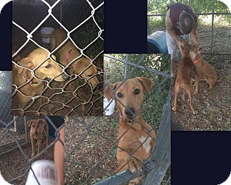 Black Mouth Cur Mix Dog for adoption in Hearne, Texas - Reeves and Rausch