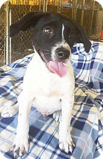 Labrador Retriever Mix Dog for adoption in Hammond, Louisiana - Cooper