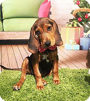 Bluetick Coonhound Mix Puppy for adoption in Castro Valley, California - Duchess