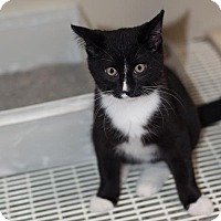 Adopt A Pet :: Mittens - New Martinsville, WV