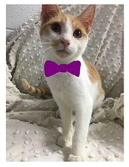 Domestic Shorthair Kitten for adoption in Paducah, Kentucky - Chet