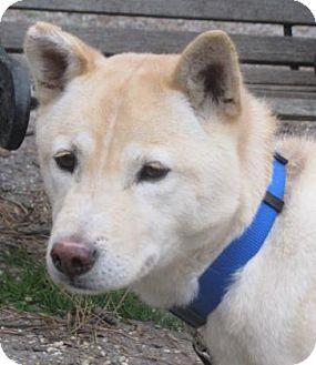 Shiba Inu Mix Dog for adoption in Voorhees, New Jersey - McKenna