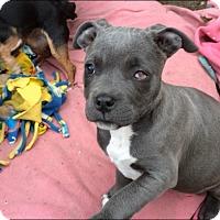 Adopt A Pet :: Lily**Video** - Pasadena, CA