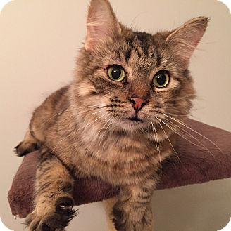 Domestic Mediumhair Cat for adoption in Woodstock, Ontario - Hunni