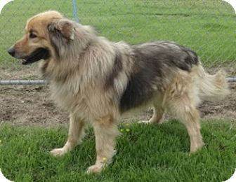 Shepherd (Unknown Type)/Chow Chow Mix Dog for adoption in Olive Branch, Mississippi - Moe