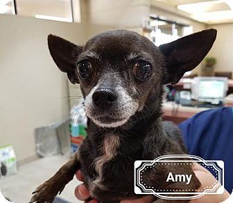 Chihuahua Mix Dog for adoption in Las Vegas, Nevada - Amy