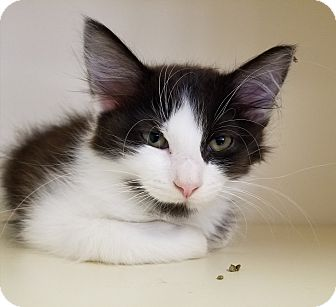 Domestic Mediumhair Kitten for adoption in Elyria, Ohio - Allie
