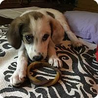 Adopt A Pet :: Rosie - MCLEAN, VA