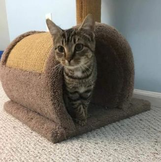 Domestic Shorthair/Domestic Shorthair Mix Cat for adoption in New Freedom, Pennsylvania - Helena