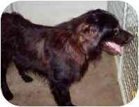 Flat-Coated Retriever Dog for adoption in Columbus, Ohio - CHARLIE