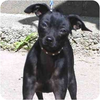 Italian Greyhound Mix Dog for adoption in Berkeley, California - Dante