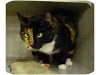 Calico Cat for adoption in Tampa, Florida - Spice