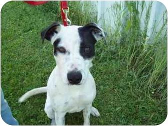 Blue Heeler/Terrier (Unknown Type, Medium) Mix Dog for adoption in Tipton, Iowa - Domino