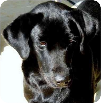 Labrador Retriever Dog for adoption in Pawling, New York - ONYX-TN.