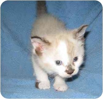 Balinese Kitten for adoption in Houston, Texas - Kala
