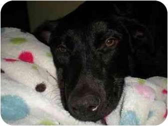 Labrador Retriever/Flat-Coated Retriever Mix Dog for adoption in San Diego, California - SHADY