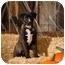 Photo 2 - Labrador Retriever/Pointer Mix Puppy for adoption in Portland, Oregon - Sable