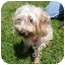 Photo 3 - Silky Terrier Mix Dog for adoption in San Clemente, California - PEBBLES