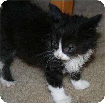 Domestic Mediumhair Kitten for adoption in Hollister, California - Elizabeth