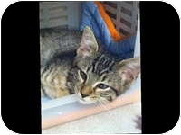 Domestic Shorthair Kitten for adoption in Tampa, Florida - Tipper