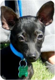 Chihuahua/Miniature Pinscher Mix Puppy for adoption in Wakefield, Rhode Island - FUNNY GIRL