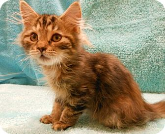 Maine Coon Kitten for adoption in Reston, Virginia - Dawn