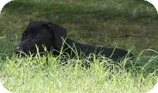 Labrador Retriever Mix Puppy for adoption in Plainfield, Connecticut - Gypsey