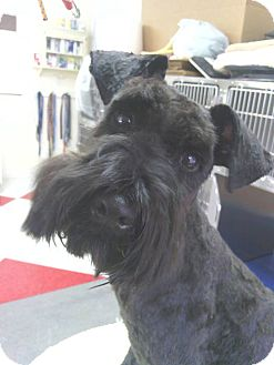 Schnauzer (Miniature) Dog for adoption in Crystal River, Florida - Chad