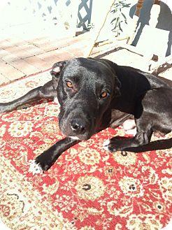 Labrador Retriever/Staffordshire Bull Terrier Mix Dog for adoption in Los Angeles, California - MAXINE