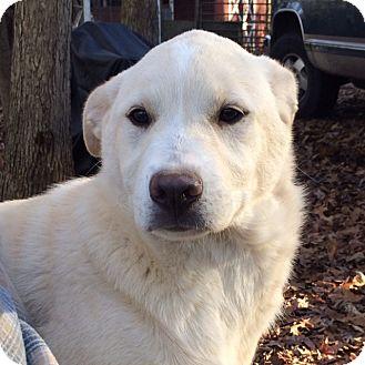 Labrador Retriever/Shepherd (Unknown Type) Mix Dog for adoption in Hatifeld, Pennsylvania - Noel