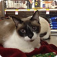 Adopt A Pet :: Nene - Lap Cat - East Hanover, NJ