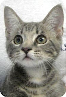 Domestic Shorthair Kitten for adoption in Key Largo, Florida - Ivan