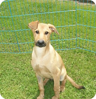 Labrador Retriever/German Shepherd Dog Mix Puppy for adoption in Liberty Center, Ohio - Lannister