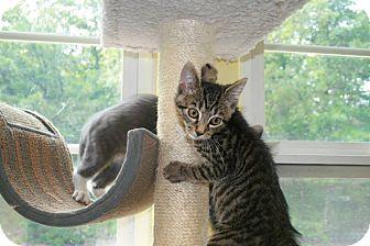 Domestic Shorthair Kitten for adoption in Jackson, New Jersey - Trinket