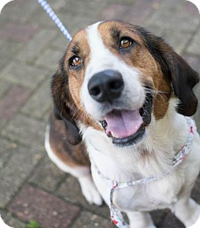 Basset Hound Mix Dog for adoption in Folsom, Louisiana - Maxwell
