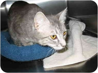 Domestic Shorthair Cat for adoption in South Lake Tahoe, California - Lucy
