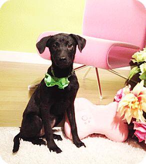 Labrador Retriever Mix Dog for adoption in Castro Valley, California - Lida