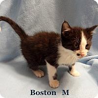 Adopt A Pet :: Boston - Bentonville, AR