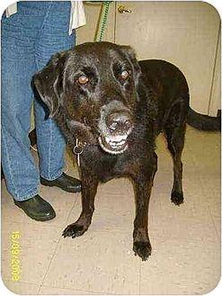 Labrador Retriever/Retriever (Unknown Type) Mix Dog for adoption in Williston Park, New York - Dixie