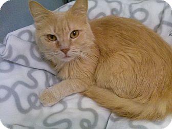 Domestic Mediumhair Cat for adoption in Burbank, California - Geenie