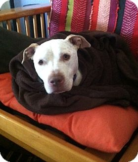 American Pit Bull Terrier/Terrier (Unknown Type, Medium) Mix Dog for adoption in Issaquah, Washington - Cali, the Cuddler