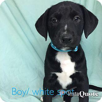 Labrador Retriever Mix Puppy for adoption in Cumming, Georgia - Hemingway