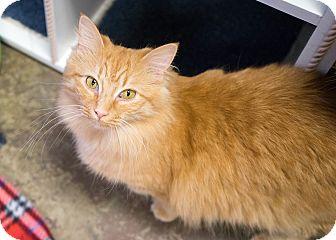 Domestic Mediumhair Cat for adoption in Montclair, California - Teresa