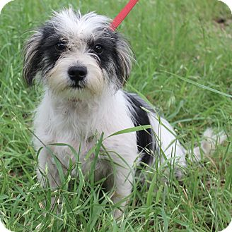 Norfolk Terrier/Terrier (Unknown Type, Small) Mix Dog for adoption in Monroeville, Pennsylvania - LACEY