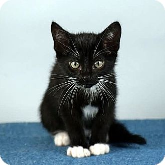 Domestic Shorthair Kitten for adoption in Columbia, Illinois - Bastet