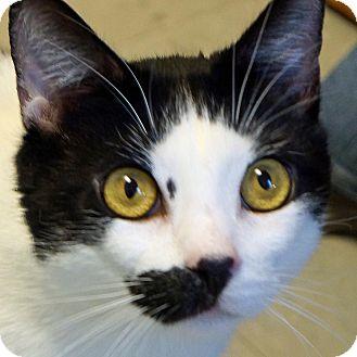 Domestic Shorthair Cat for adoption in Sprakers, New York - Boscoe
