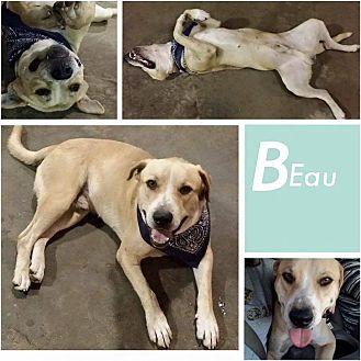 Labrador Retriever Mix Dog for adoption in Austin, Texas - Beau