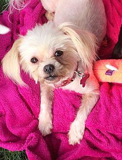 Chihuahua/Shih Tzu Mix Dog for adoption in Acworth, Georgia - Precious